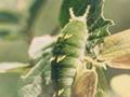オオムラサキの一生 : 六齢幼虫