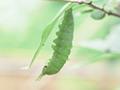 オオムラサキの一生 : 前蛹