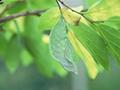 オオムラサキの一生 : 蛹