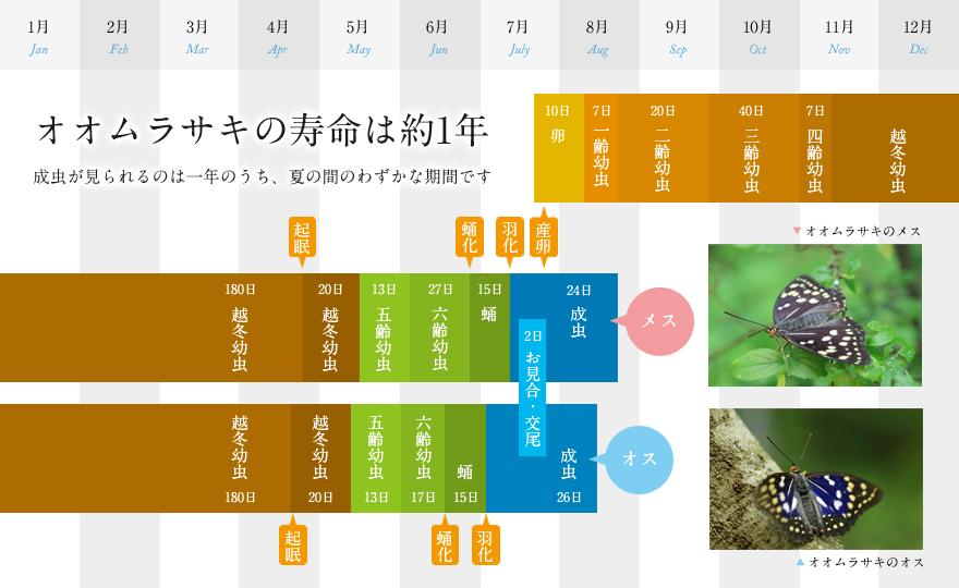 オオムラサキの一生 :年表