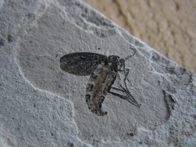 虫の化石が出てきた!