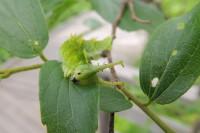 オオムラサキの幼虫 - もりもり食べるぞ