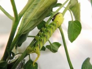 クロメンガタスズメ - 幼虫
