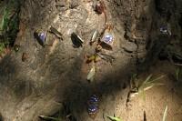 樹液に集まるオオムラサキ