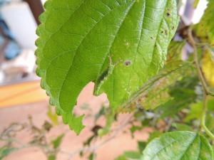 20140825オオムラサキ - 幼虫