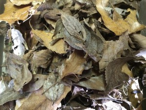 20141223 - 調査(越冬幼虫)「何匹いるでしょう?」
