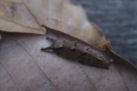 201412021オオムラサキの幼虫