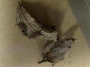 20141223 - 調査(越冬幼虫)「たくさんいるよ」t
