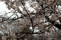 20150405サクラ - ソメイヨシノ (1)