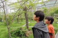 20150504(観察)オオムラサキの幼虫発見! (2)