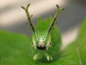 20150515upオオムラサキ(幼虫)