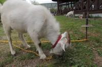 20150504ヤギ