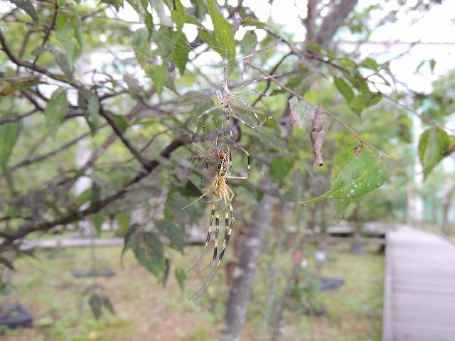 ジョロウグモの画像 p1_3