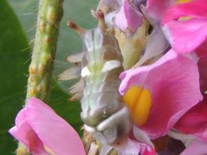 ウラギンシジミ(幼虫)