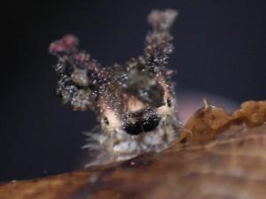 20151126 - オオムラサキ(幼虫) (1)