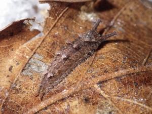 20160119オオムラサキ(幼虫) (2)