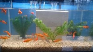 20160227h - 金魚