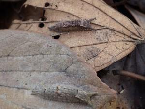 20160316 - ゴマダラチョウ(幼虫)とオオムラサキ(幼虫) (2)