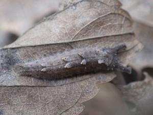 20151210 - オオムラサキ(幼虫) (1)