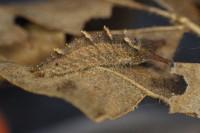 20160226オオムラサキ(幼虫) (5)