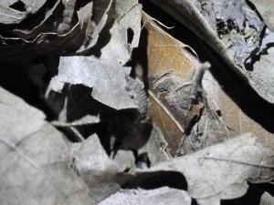 20060403オオムラサキ(幼虫) (19)