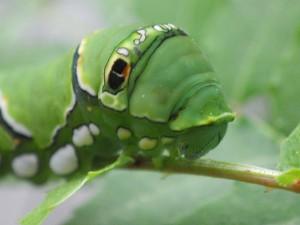 20160522 - アゲハ幼虫 (4)