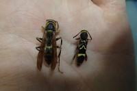 20160518 - アシナガバチとカミキリムシ (3)