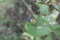 20160825 - キバラヘリカメムシ(幼虫) (4)