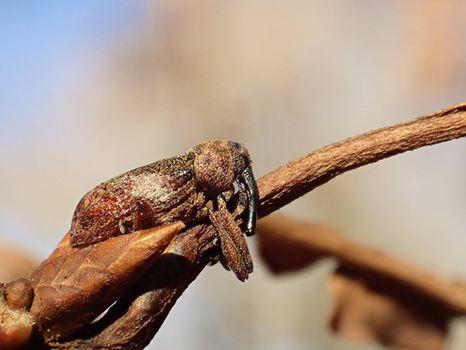冬の昆虫ガイド- カシアシナガゾウムシ