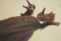 20161216af - オオムラサキ(幼虫)