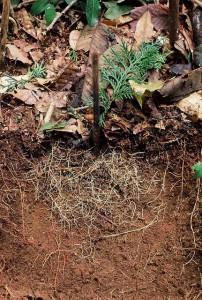 061_59日後_野糞跡を覆う大量の木の根(by伊沢さま)