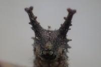 20170218 - オオムラサキ(幼虫) (3)