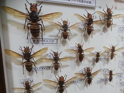 20171024 スズメバチ標本02