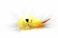 リンゴドクガ幼虫
