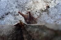 越冬幼虫20181272