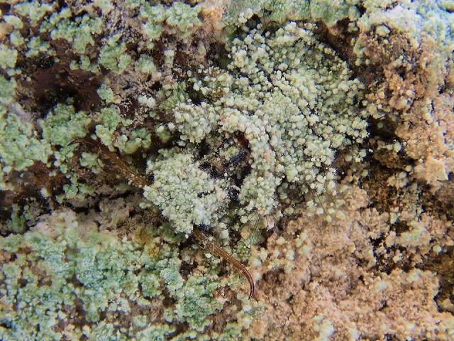 冬のコマダラウスバカゲロウ幼虫