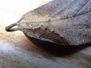 オオムラサキ幼虫2