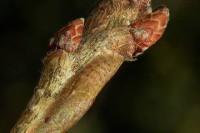 冬の昆虫ガイド コミミズクの幼虫