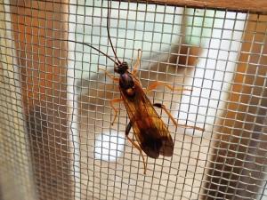 アゲハヒメバチ