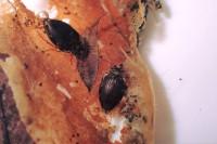 カノシマチビゲンゴロウ