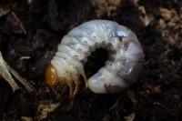 コクワガタ幼虫