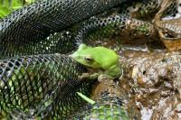 シュレーゲルアオガエル カエル