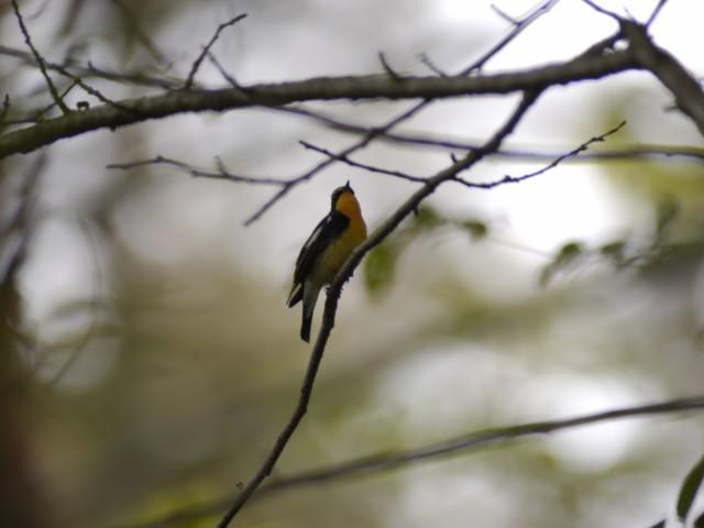 キビタキ 野鳥